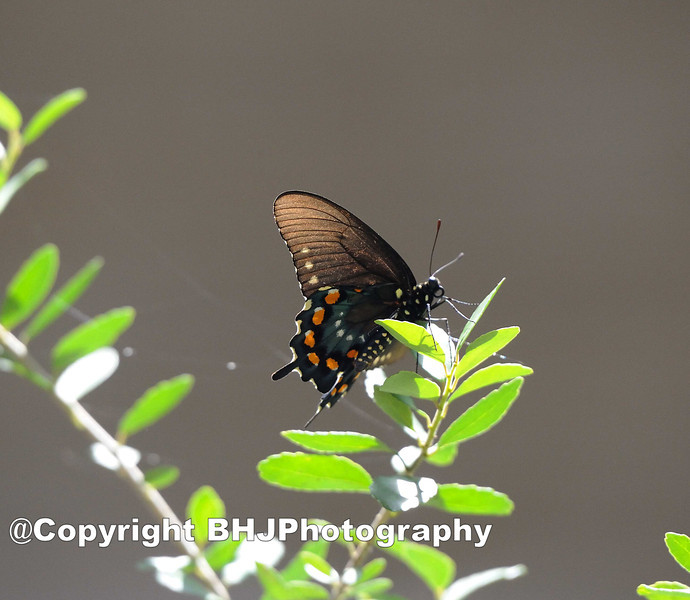 Black Swallowtail is a common swallowtail butterfly