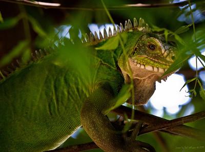 Lesser Antillean Iguana - St Eustatius. Critically endangered.