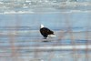 January 8, 2011 (Riverlands Migratory Bird Sanctuary [on ice of Ellis Bay] - Saint Charles County, Missouri) -- Bald Eagle
