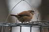 January 7, 2011 ([backyard over Grand Glaize Creek] / Manchester, Saint Louis County, Missouri) -- Carolina Wren on suet feeder