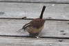 January 9, 2011 ([backyard over Grand Glaize Creek] / Manchester, Saint Louis County, Missouri) -- Carolina Wren