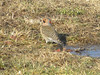 "January 1, 2011 (Columbia Bottom Conservation Area [near visitor center] / Saint Louis County, Missouri) -- Northern ""Yellow-shafted"" Flicker"