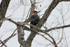 January 14, 2011 (Parkway Central High School [wooded area] / Chesterfield, Saint Louis County, Missouri) -- Female Pileated Woodpecker