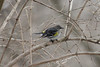 "January 14, 2011 (Forest 44 Conservation Area [Williams Creek] / Fenton, Saint Louis County, Missouri) -- Yellow-rumped ""Myrtle"" Warbler"