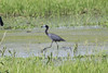 June 11, 2011 (Columbia Bottom Conservation Area [in flooded farm field by gravel road] - St Louis County, MO) - Little Blue Heron
