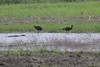 June 5, 2011 (Columbia Bottom Conservation Area [in fluddle by gravel road] - St Louis County, MO) - White-face Ibis