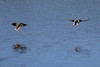 April 2, 2011 (Simpson Lake County Park [fenced water treatment pond] / Valley Park, St Louis County, MO) - Northern Shoveler pair in flight
