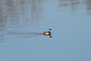 April 2, 2011 (Simpson Lake County Park [on lake from bicycle trail] / Valley Park, St Louis County, MO) - Horned Grebe