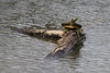 April 3, 2011 (August Busch Conservation Area [Hampton Lake] / Weldon Springs, St. Charles County, MO) - Red-eared Slider Turtle