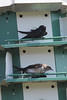 April 3, 2011 (August Busch Conservation Area [near headquarters] / Weldon Springs, St. Charles County, MO) - Purple Martins