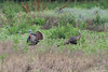 June 5, 2011 (Columbia Bottom Conservation Area [in farm field near Confluence overlook] - St Louis County, MO) - Wild Turkeys