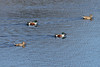 April 2, 2011 (Simpson Lake County Park [fenced water treatment pond] / Valley Park, St Louis County, MO) - Northern Shoveler pairs