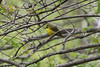 May 1, 2011 (Weldon Spring Conservation Area [Lost Valley Trail] [near creek overlook] / Defiance, St. Charles County, Missouri) - Kentucky Warbler