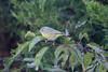 October 1, 2011 (Weldon Springs Conservation Area, Blue Grosbeak Trail / Weldon Springs, Saint Charles County, Missouri) -- Nashville Warbler