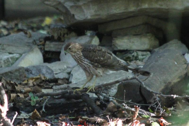 October 1, 2011 (Tower Grove Park [Gaddy Bird Garden bubbler] / Saint Louis, Missouri) - Cooper's Hawk