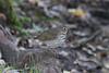 October 1, 2011 (Tower Grove Park [Gaddy Bird Garden] / Saint Louis, Missouri) - Swainson's Thrush