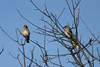 October 21, 2011 (Parkway Central High School [under tower] / Chesterfield, Saint Louis County, Missouri) -- Cedar Waxwings