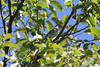 October 1, 2011 (Tower Grove Park [outside Gaddy Bird Garden] / Saint Louis, Missouri) - Blue-headed Vireo