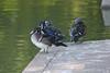 October 1, 2011 (Tower Grove Park [Concrete Ponds] / Saint Louis, Missouri) - two pair of Wood Ducks