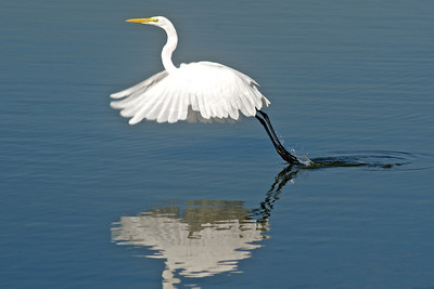 Egret...White Rock Lake, Dallas, Texas...