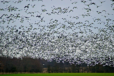 Snow Geese...Hagerman Wildlife Refuge...Sherman, Texas