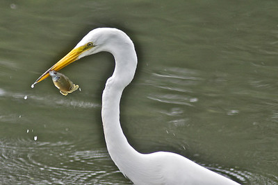 Great Egret and Lunch...Cottonwood Park, Richardson, Texas...May 21, 2011