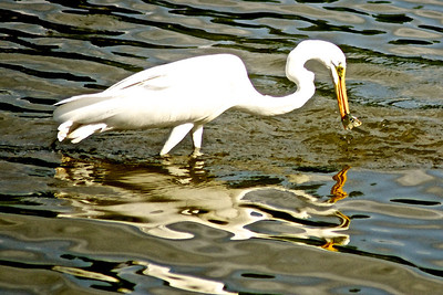 Egret...White Rock Lake, Dallas