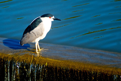Black-Crowned Night Heron...Spillway, White Rock Lake, Dallas, Texas...May 16, 2011