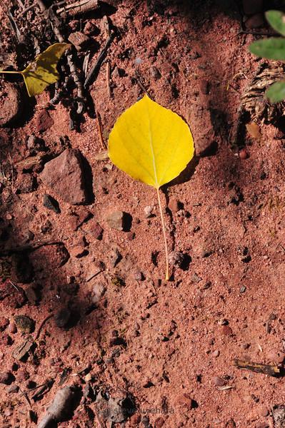 Aspen leaf on the ground