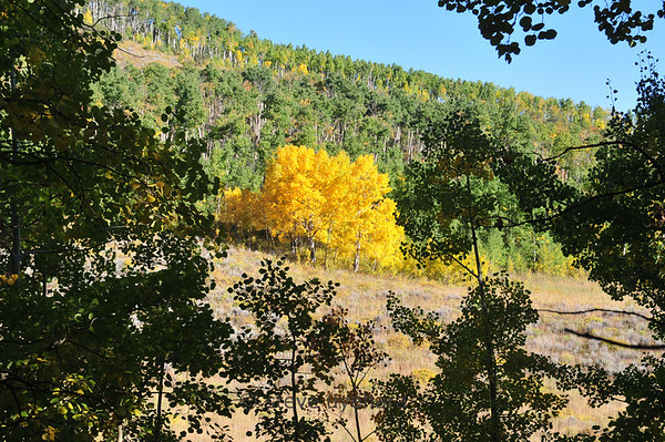 A solitary stand of aspen trees glowing yellow for all they're worth. Everyone else has a bit of catching up to do.