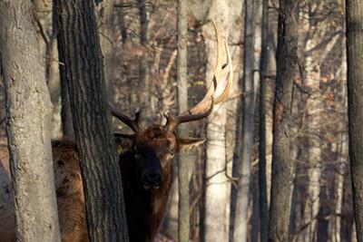 Shy bull elk (wapiti), December 17, Lone Elk Park