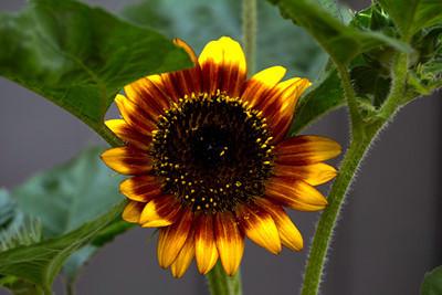 Sunflower, July 3, Maplewood, MO