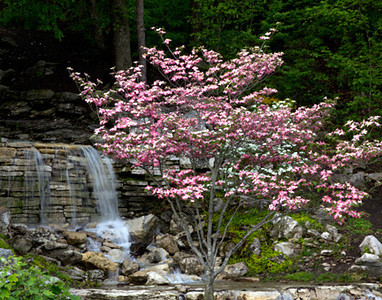 Pink dogwood and waterfall, April 24, Forest Park