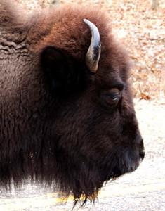 Bison, January 9, Lone Elk Park