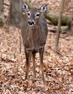 Whitetail deer doe, January 9, Lone Elk Park