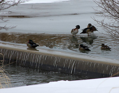 Wood ducks on ice and dam, February 6, Forest Park