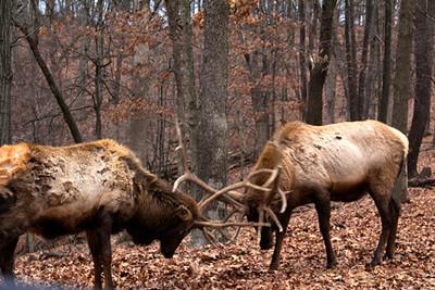 Sparring elk (wapiti) bulls, January 1, Lone Elk Park
