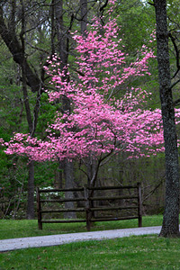 Pink dogwood with protective fencing, April 16, Lone Elk Park