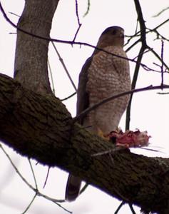 Hawk with prey, November 23, University City, MO