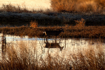 Whitetail deer doe wading across small pond, December 31, Riverlands Conservation Area