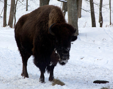 Bison, January 22, Lone Elk Park