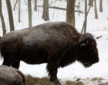 Bison in snow storm, January 23, Lone Elk Park