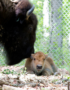Bison with new born calf, May 1, Lone Elk Park