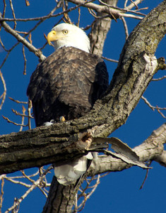 Bald Eagle, January 29, Great River Road north of Alton, Illinois
