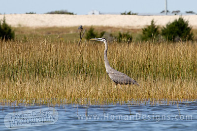 Heron at the marshes of Carrot Island.