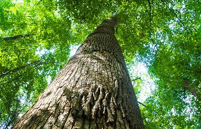 Tree in Joyce Kilmer Memorial Forest.