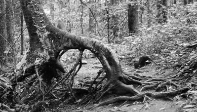Tree roots in Joyce Kilmer Memorial Forest.