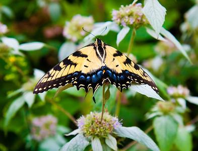 Butterfly on mountain mint in western N.C.