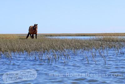 A wild horse on Carrot Island at Rachel Carson preserve.