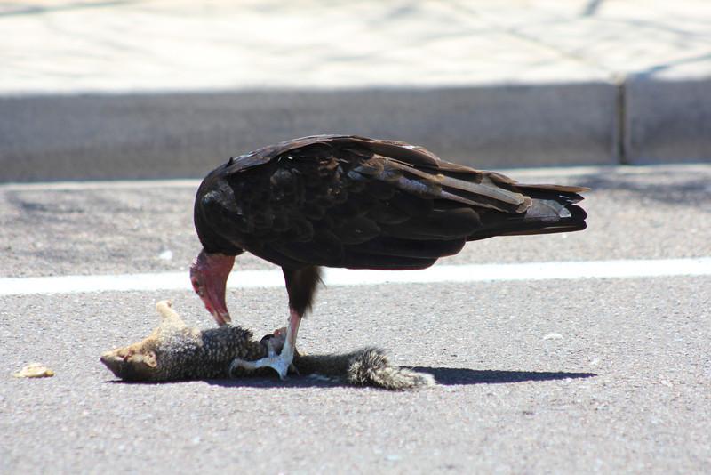 Turkey Vulture eating 7